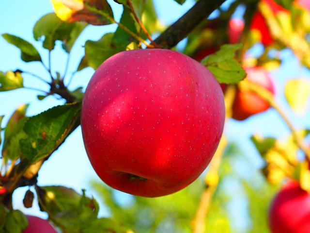 jablíčka na stromě